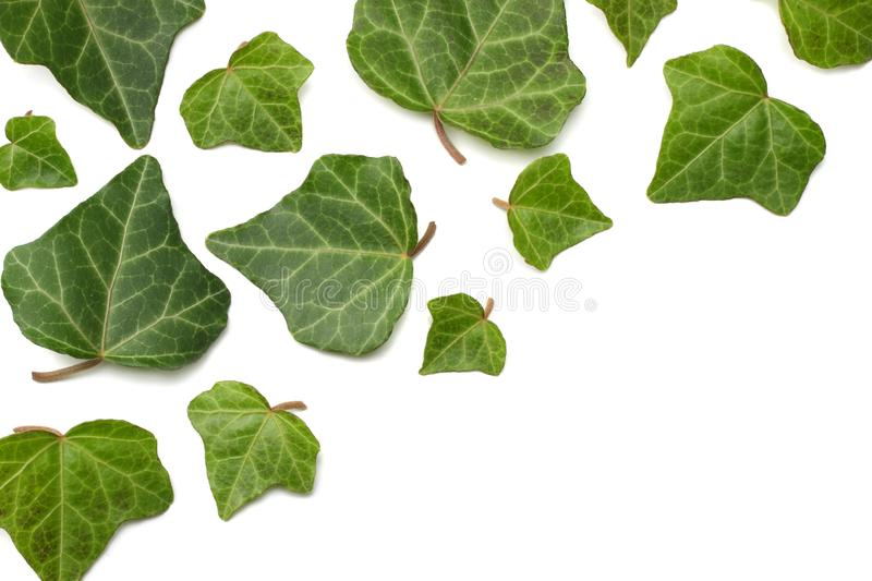 Ivy leaves isolated on a white background. top view stock photography