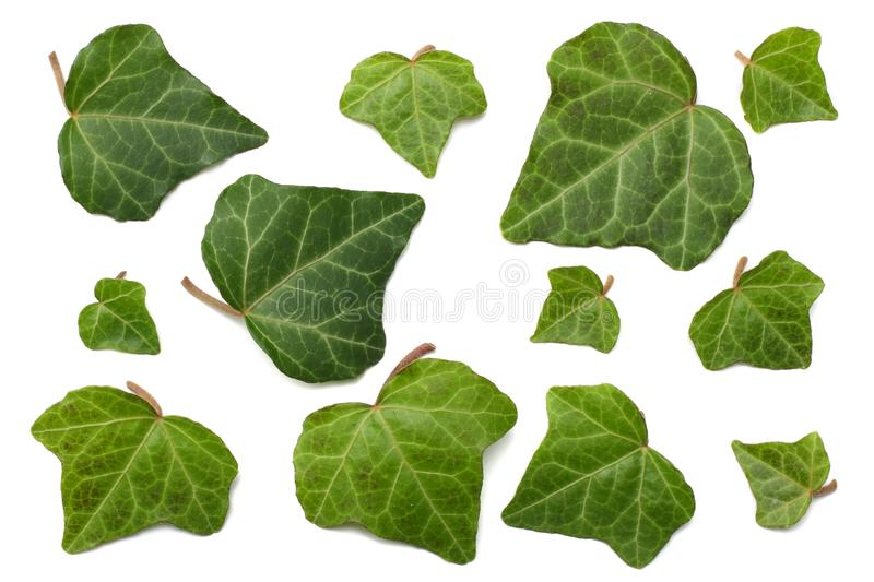Ivy leaves isolated on a white background. top view stock photo
