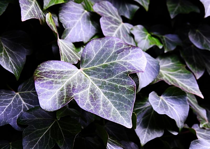 Ivy Leaves With Natural Purple Hues. Ivy leaves growing on an old tree in a forest with natural purple hues stock images