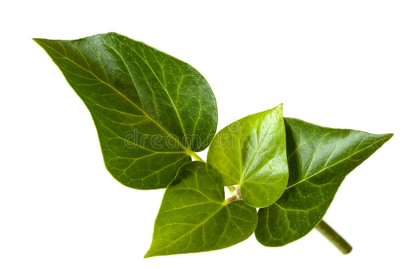 Ivy Leaves over White. Ivy leaves isolated on white background royalty free stock photos
