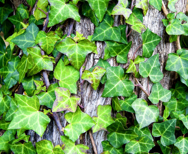 Ivy leaves. On the tree bark stock photos