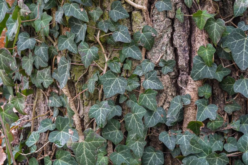 Ivy leaves on tree bark royalty free stock images
