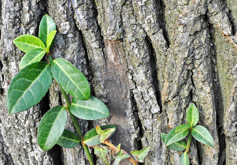 Ivy leaves on a tree. Green ivy leaves on a old tree background stock photography