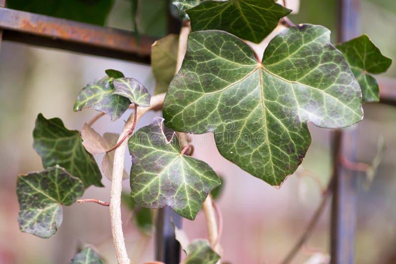 Ivy Leaves in varie dimensioni contro fondo vago caduta calda fotografia stock