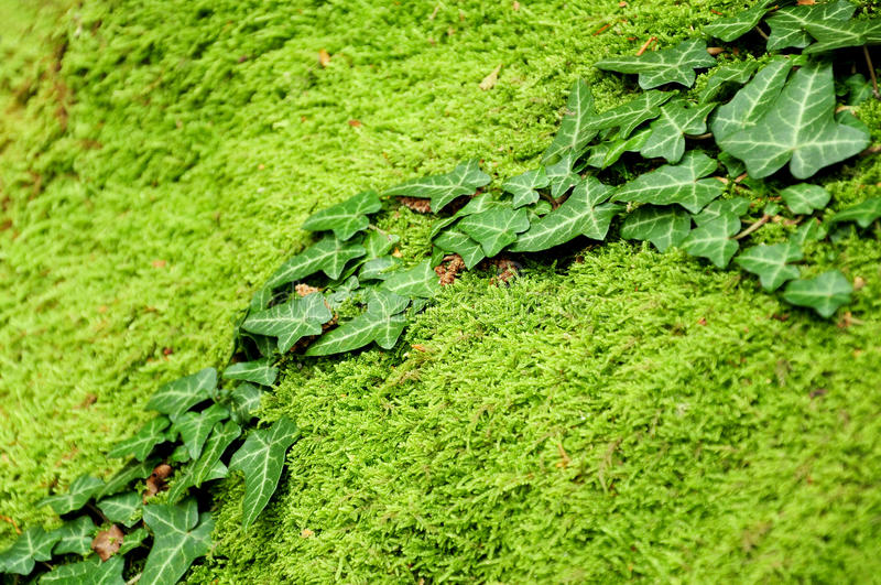 Download Ivy on mossy stone stock photo. Image of outdoor, moss - 25746224