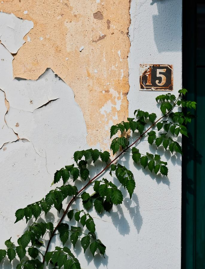Ivy Plant Growing verde sulla pelatura della parete bianca dello stucco, Grecia fotografia stock