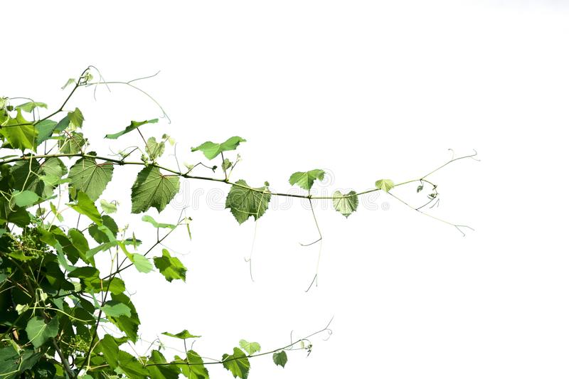 ivy plant isolate on white background stock images
