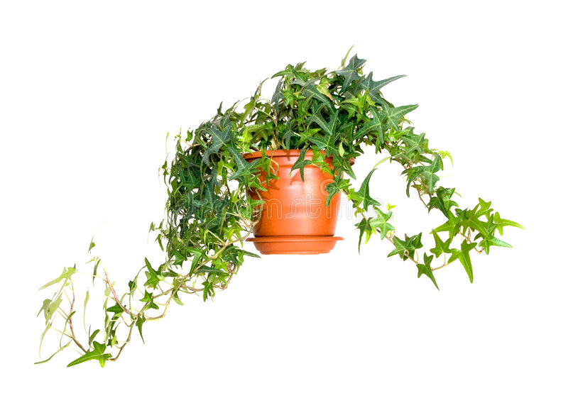 Ivy in pot stock images