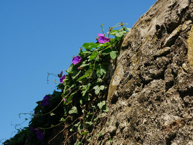 Ivy with purple flowers growing on old rustic stone wall royalty free stock photos