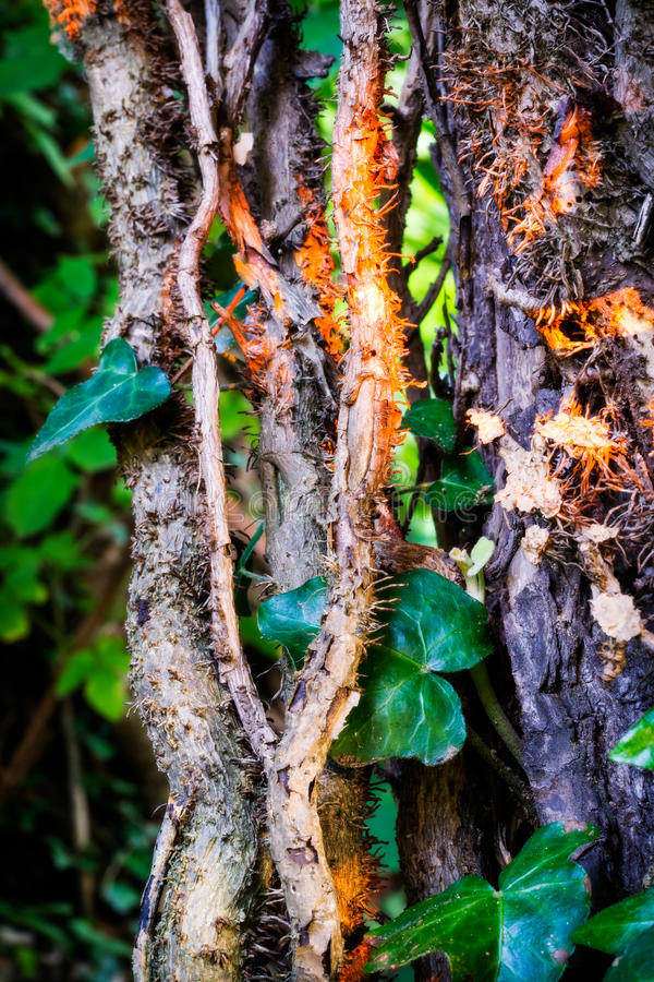 Ivy stems on trunk royalty free stock photos