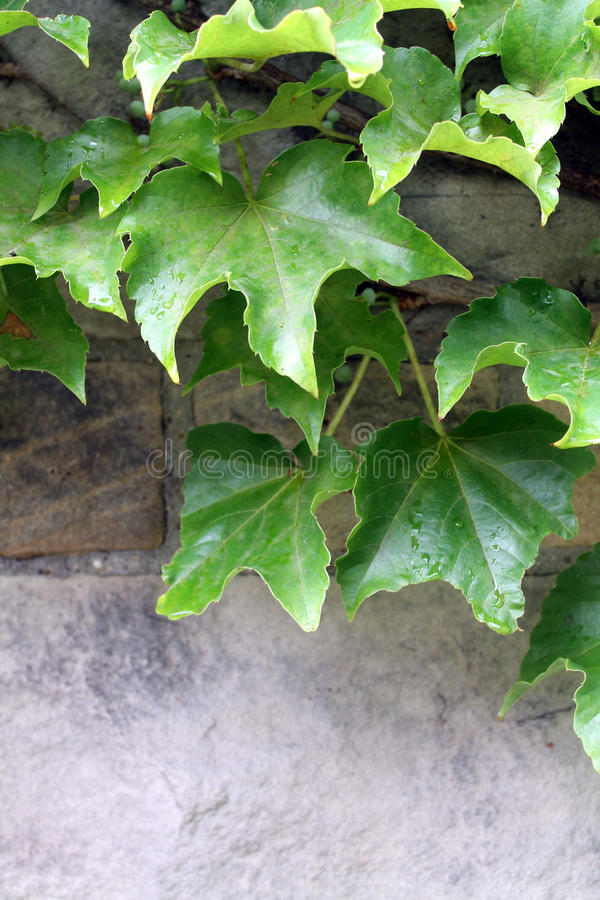 Ivy on stone stock photography
