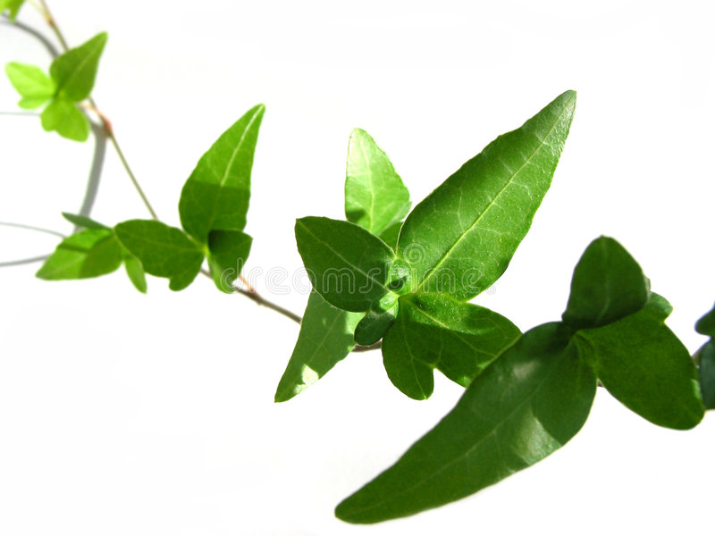 Ivy su priorità bassa bianca 4 fotografia stock