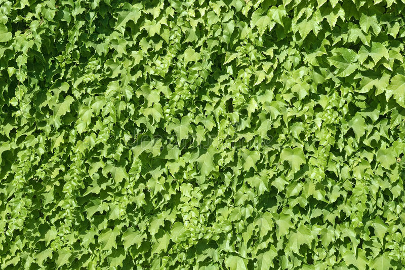 Ivy Texture Royalty Free Stock Photography