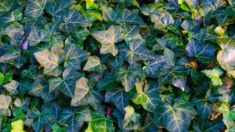 Ivy Texture Blank Background fotografie stock libere da diritti