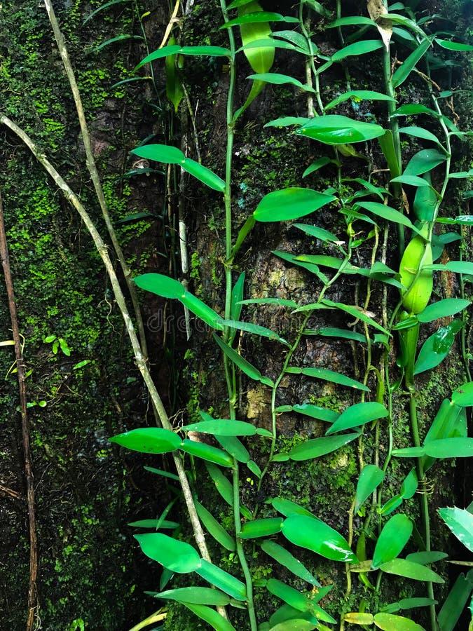 Ivy Tree lizenzfreie stockbilder