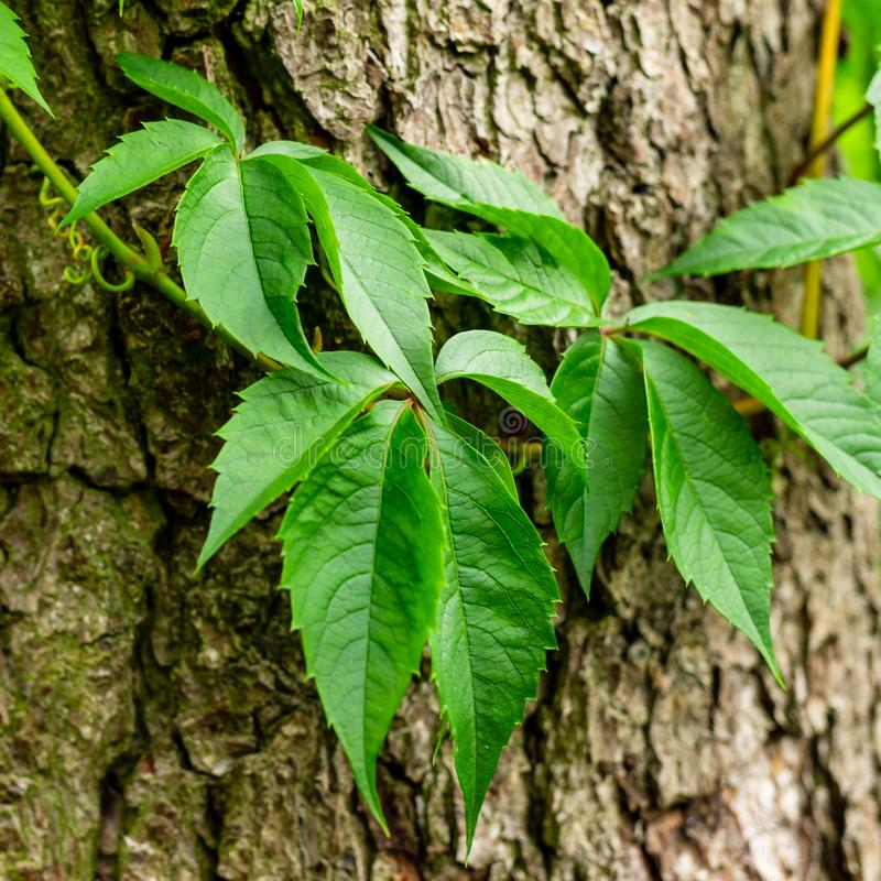 Ivy on tree bark. Leaves of wild wine entwining the trunk of a tree. Young leaves royalty free stock image