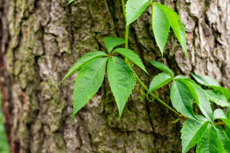Ivy on tree bark. Leaves of wild wine entwining the trunk of a tree. Young leaves stock image