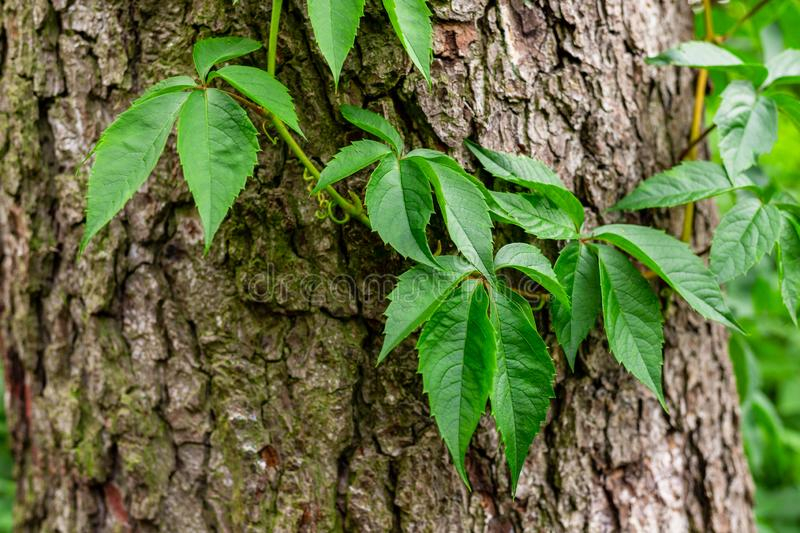 Ivy on tree bark. Leaves of wild wine entwining the trunk of a tree. Young leaves royalty free stock photo
