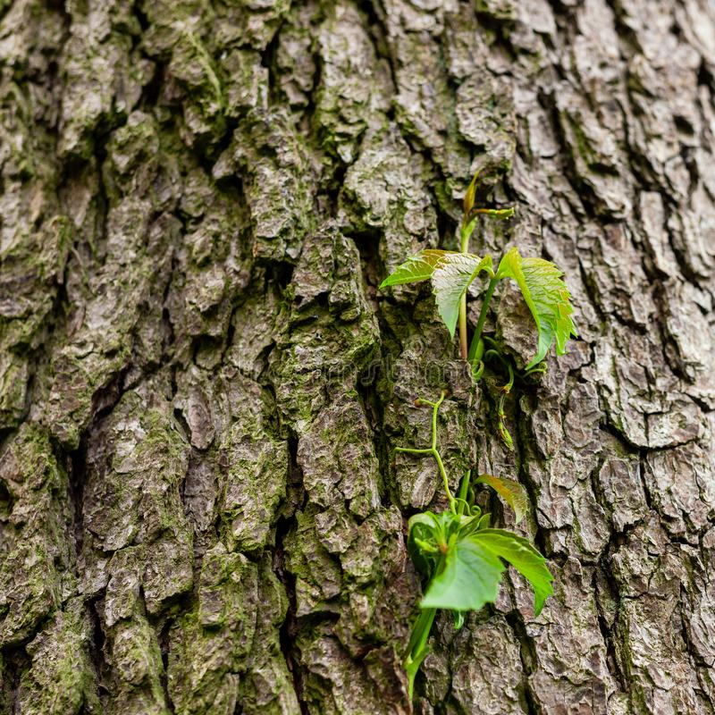 Ivy on tree bark. Leaves of wild wine entwining the trunk of a tree. Young leaves royalty free stock images