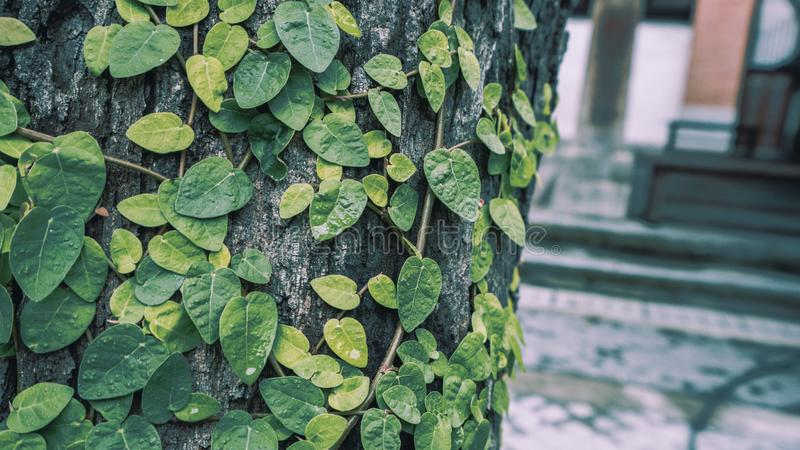 Ivy On Tree verde fresca fotos de stock royalty free