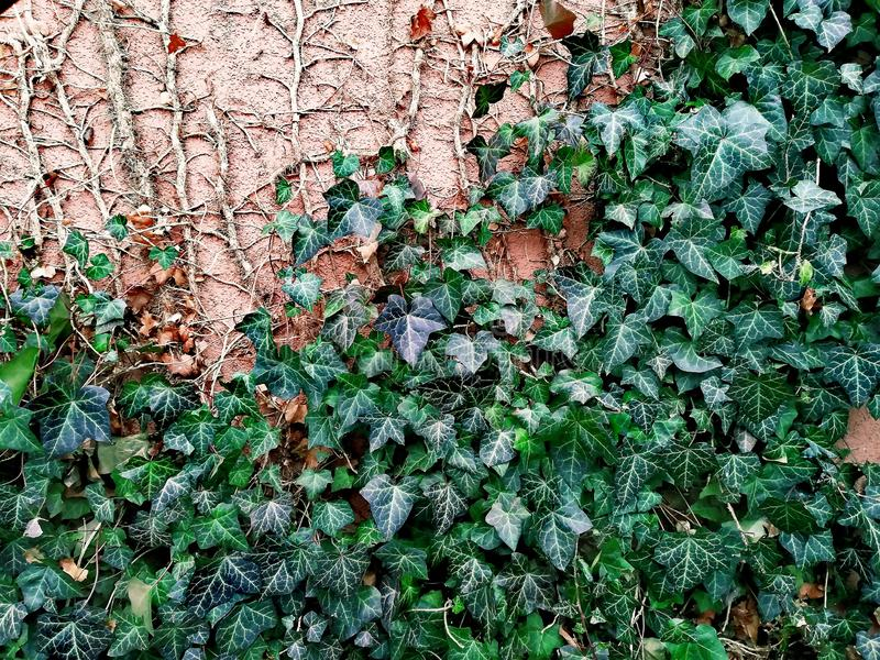 Ivy trudges along the wall, the wall with the plant. The wall on which lags ivy. Green plant, old buildings, green fence. Beautiful photo, textured image royalty free stock images