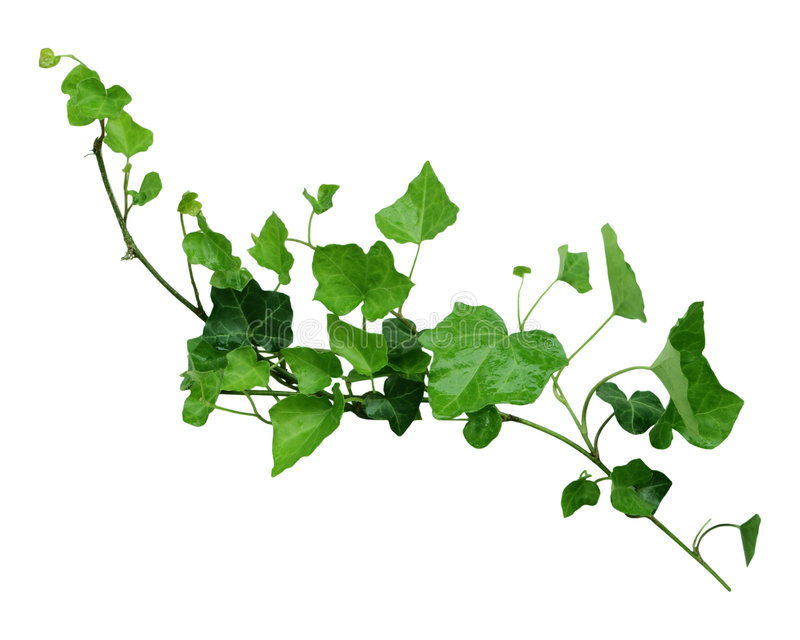 Ivy on the vine. Green ivy leaves on the vine isolated on white background