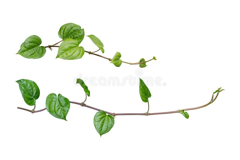 ivy. vine plants, ivy leaves of the climbing plant isolated on w stock photography