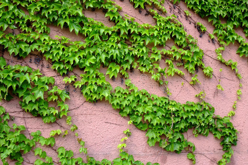Download Ivy on the wall stock image. Image of freshness, design - 12520043