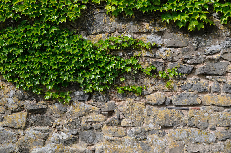 Download Ivy At A Wall Royalty Free Stock Photo - Image: 14867905