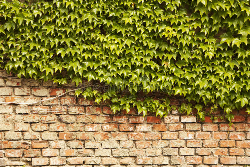 Download Ivy wall stock image. Image of brick, wall, nature, plant - 19532479