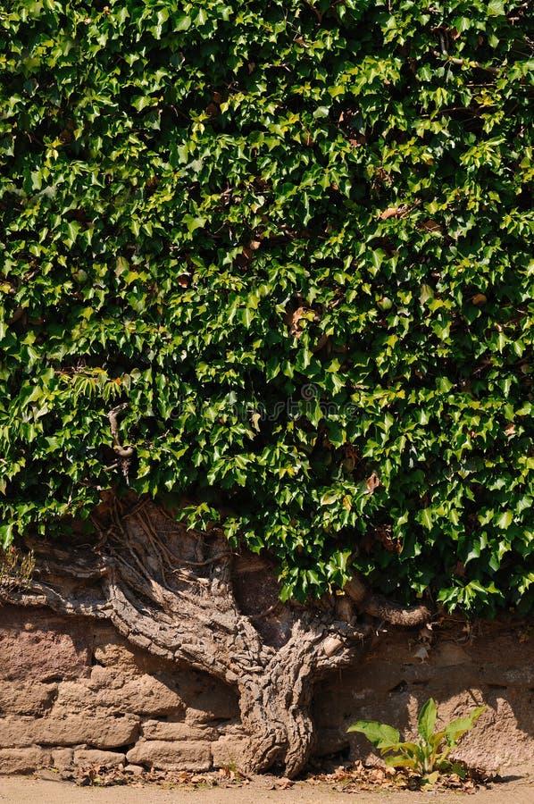Ivy at a wall