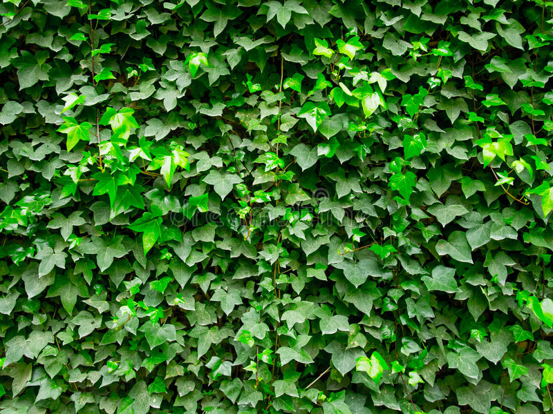 Ivy Wall fotografia stock libera da diritti