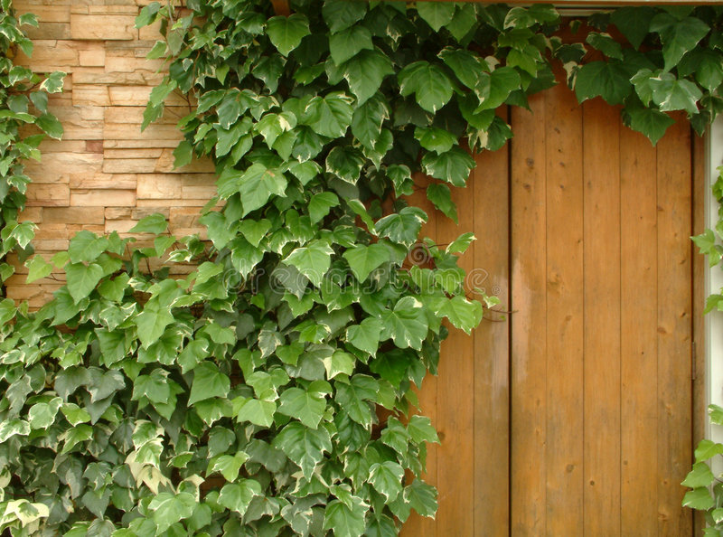 Ivy Wall stock photography