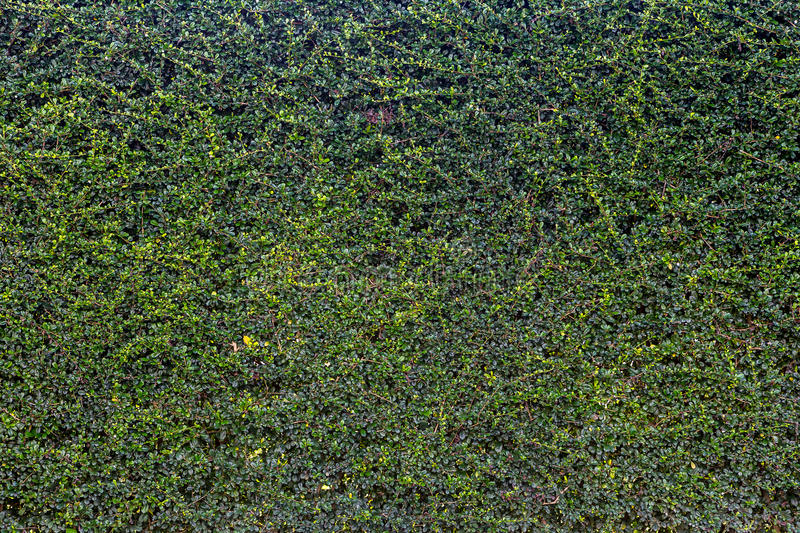 Ivy Wall royalty-vrije stock foto's
