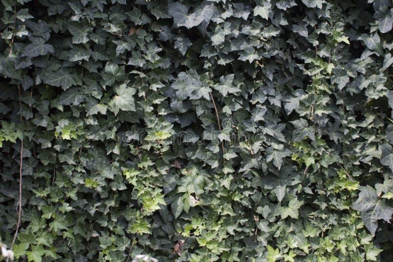 Ivy Wall fotos de archivo