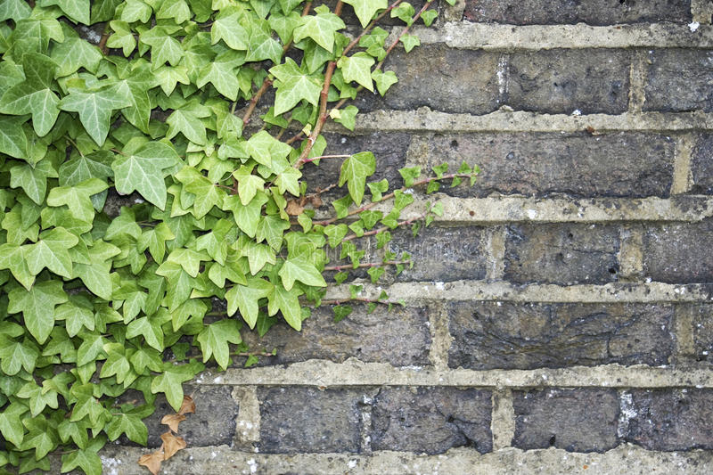 Download Ivy on a wall background stock photo. Image of growing - 11419380