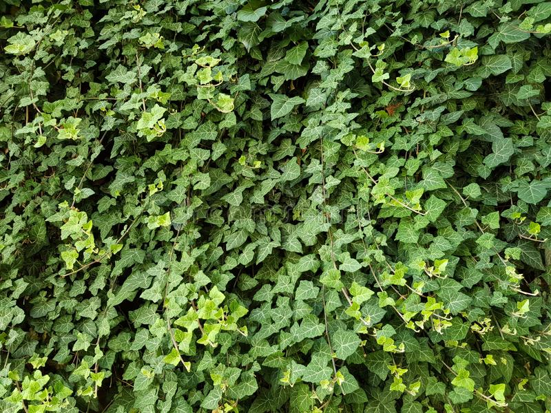 Ivy Wall Texture Background natural fotos de stock