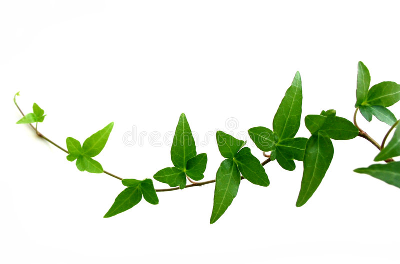Ivy on white background 2. Green ivy closeup on white background