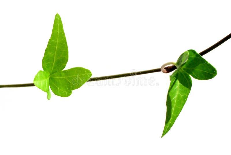 Ivy on white background 3 royalty free stock image