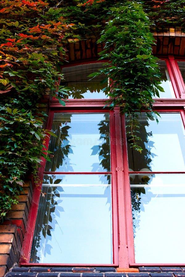 Ivy on window royalty free stock photo