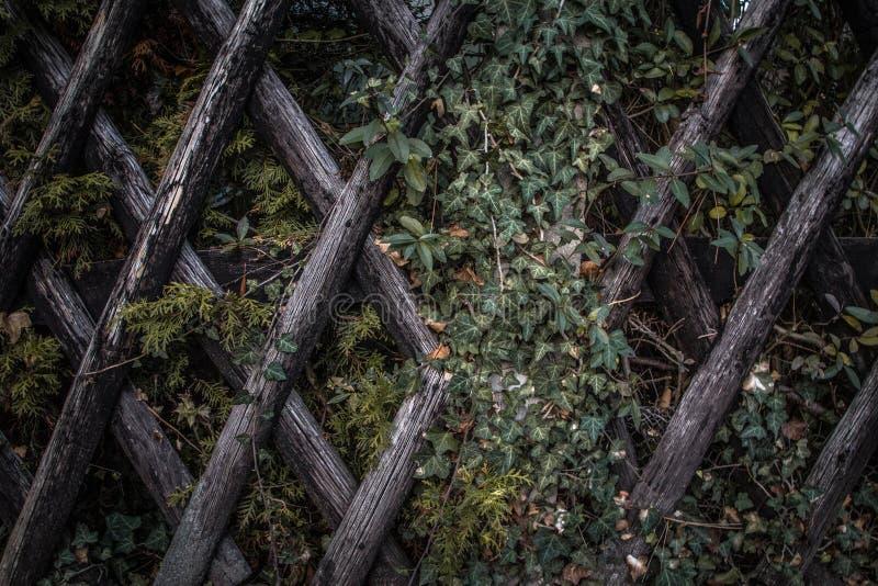 Ivy on wood lattice fence royalty free stock image