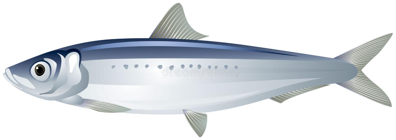 Iwashi Pacific Sardine Japanese Sardine or Iwashi Herring fish realistic vector illustration. Iwashi Sardine also known as Pacific Sardine, Japanese Sardine or royalty free illustration