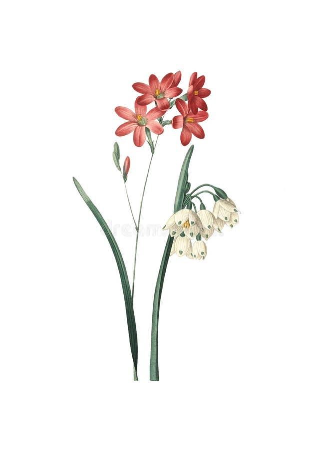 Ixia fleurs de Phlox e fiocco di neve di estate | Ill antico del fiore royalty illustrazione gratis