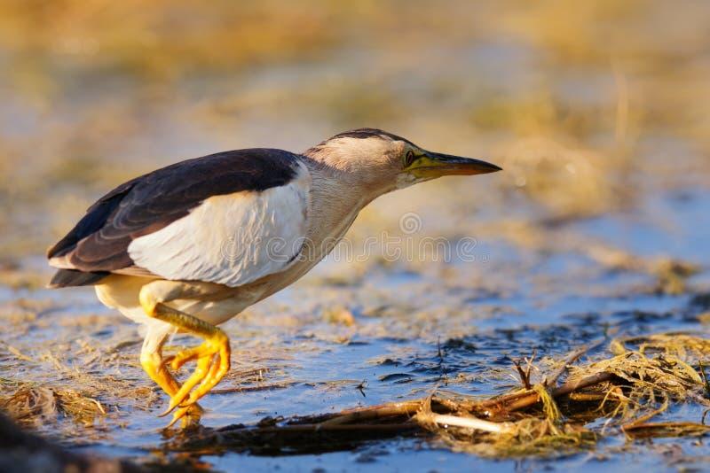 Ixobrychus minutus del tarabusino che sta nell'acqua e che cerca alimento fotografie stock libere da diritti