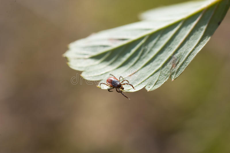 Ixodes scapularis. Indirect representation of dangerous diseases royalty free stock photography