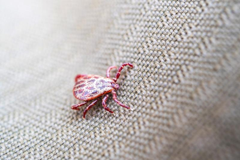 Ixodes tick spotted red shade, a dangerous animal. That can infect diseases royalty free stock images