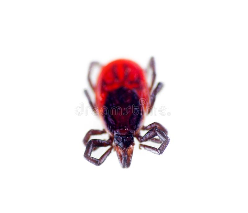 Ixodes tick, taiga tick perdu, on white background. Ixodes tick dog tick, taiga tick, Ixodes persulcatus perdu in state of inactivity, motionless, on white royalty free stock image