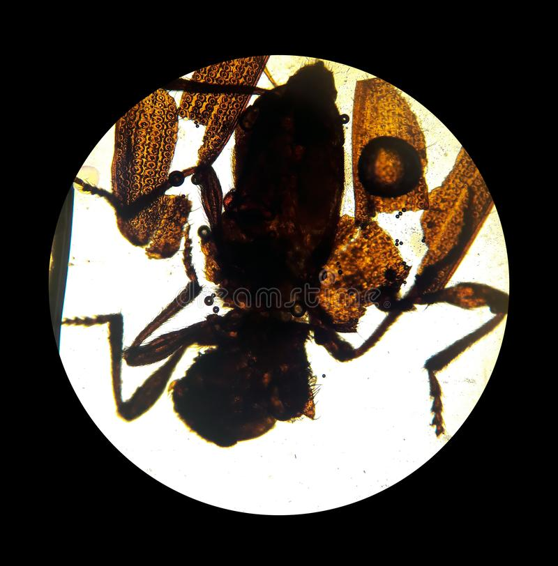 Ixodes tick, view from the microscope. tick in the laboratory. Ixodes tick, view from the microscope. mite in the laboratory stock photography