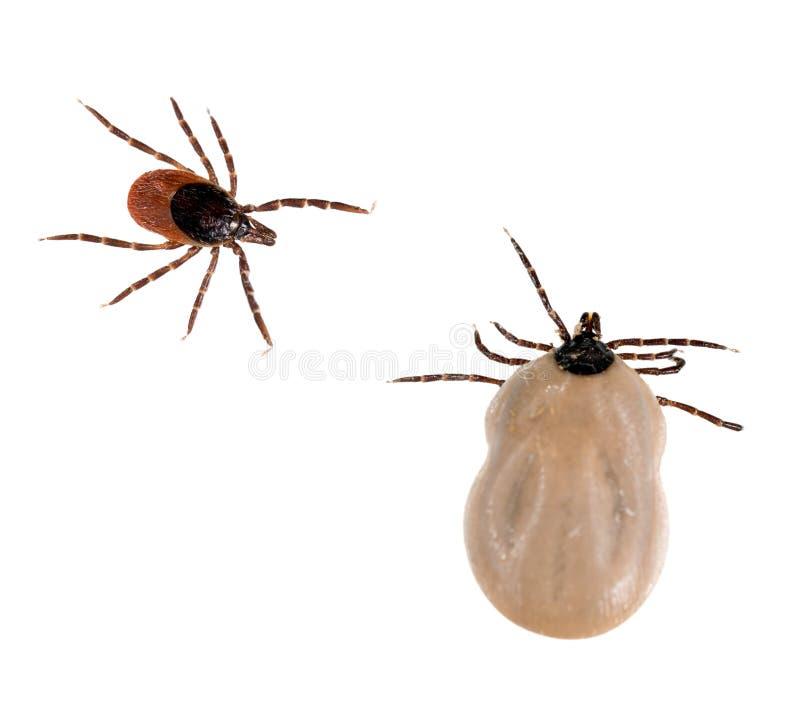 Ixodesscapularis - som isoleras över vit Svart lade benen på ryggen aka hjortar t arkivfoton