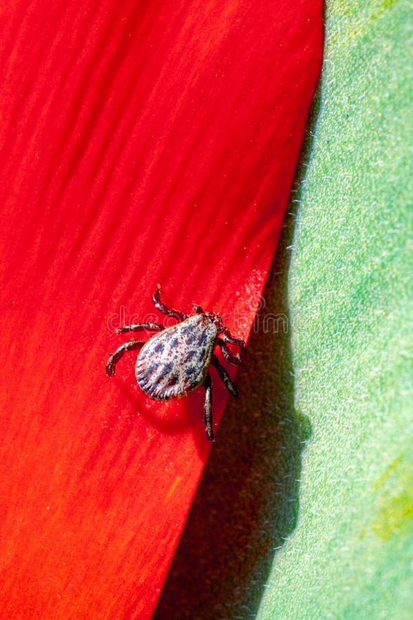 Ixodic fästing på en röd blomma arkivfoton